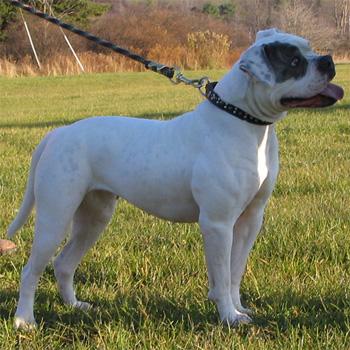 Atomic American Bulldogs Breedings