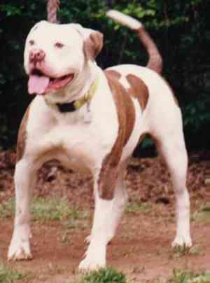 red nose american bulldog blue nose american bulldog 9638