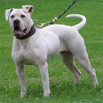 Atomic American Bulldogs - Atomic Bred