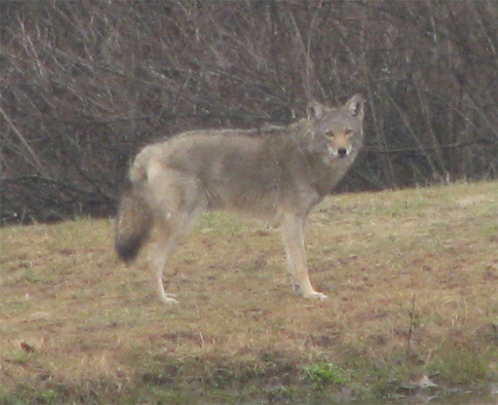 Atomic American Bulldogs - Eastern Coyote