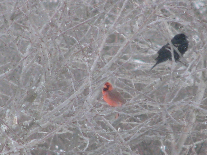 Atomic American Bulldogs - Cardinal & Redwinged Blackbird