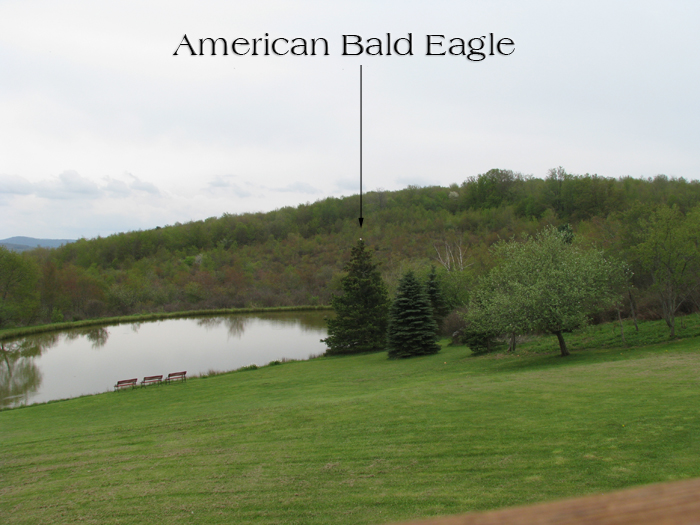 Atomic American Bulldogs - American Bald Eagle