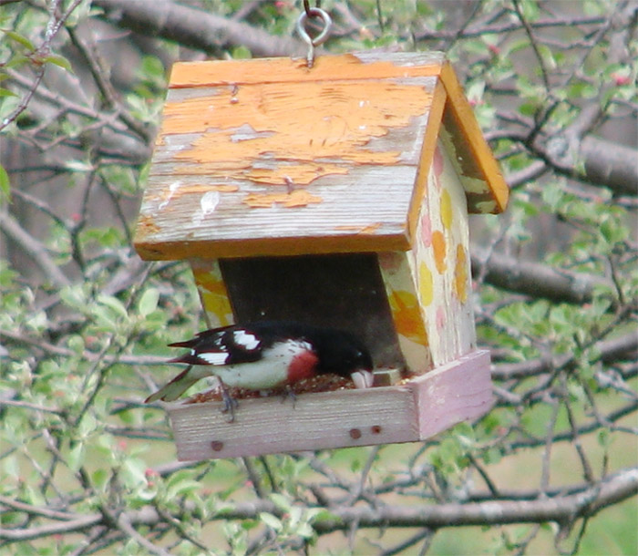 Atomic American Bulldogs - Rose Breasted Grosbeak