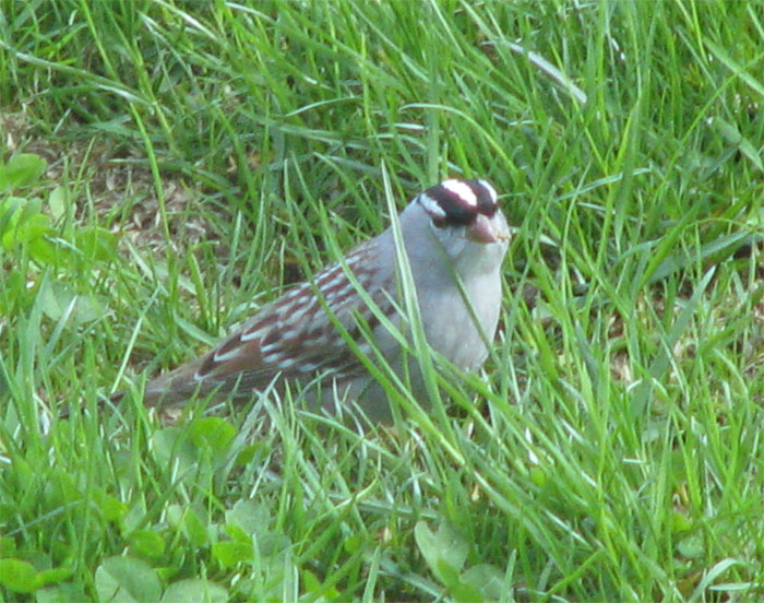 Atomic American Bulldogs - White Crowned Sparrow
