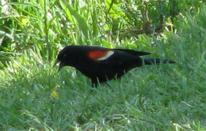 Atomic American Bulldogs - Redwinged Blackbird