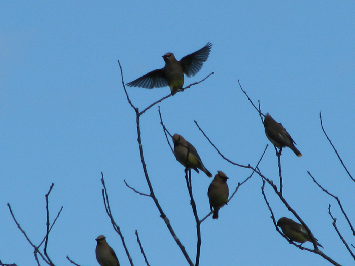 Atomic American Bulldogs - Cedar Waxwings